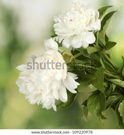beautiful white peonies on green background