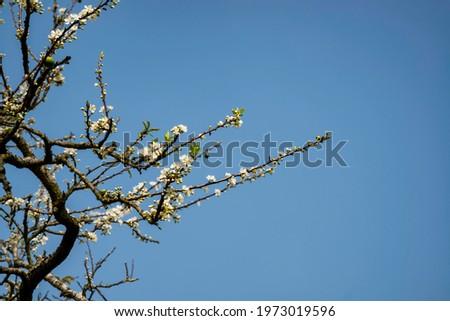 Beautiful white plum flowers in Naka Plums Valley in Moc Chau, Vietnam Zdjęcia stock ©