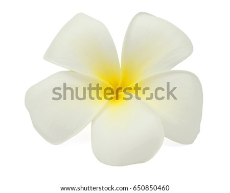 beautiful white plumeria rubra flower isolated on White background #650850460