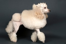 Beautiful white poodle standing on gray background