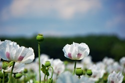 Beautiful white poppy in a field full of poppies.