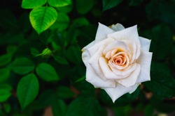 Beautiful white rose and green leaves in the garden with copy space, sign of pure love