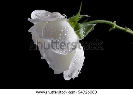 Beautiful White Roses Wallpapers Beautiful White Rose on a