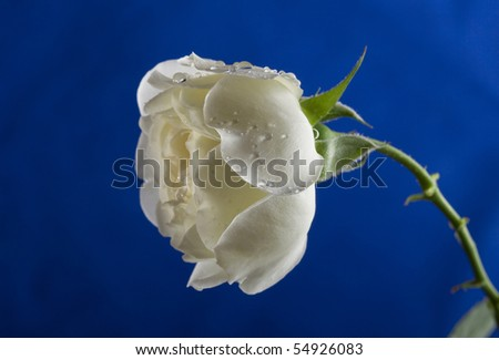 beautiful white rose on a blue background