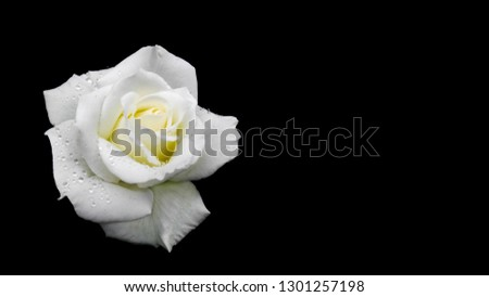 Beautiful white rose with dew drops isolated on black background. Ideal for greeting cards for wedding, birthday, Valentine's Day, Mother's Day. 16x9