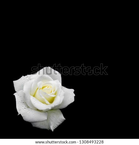 Beautiful white rose with dew drops isolated on black background. Ideal for greeting cards for wedding, birthday, Valentine's Day, Mother's Day
