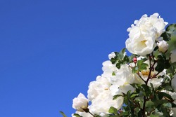 Beautiful white roses against the blue sky on a sunny day. These roses are called midsummer roses or scotch roses. Concepts of love and innocence. Lots of copy space. Selective focus.