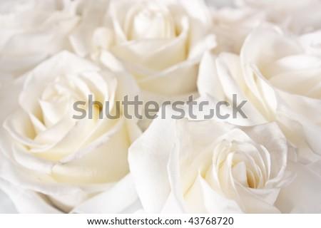 beautiful white roses background
