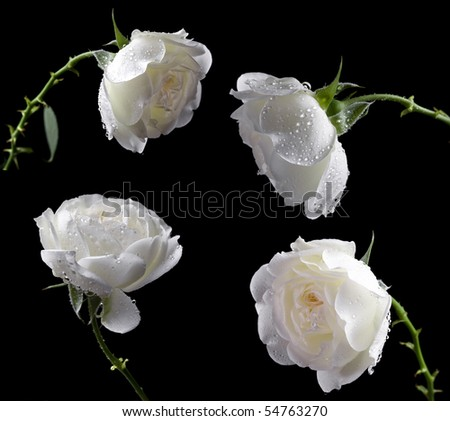 stock photo : beautiful white roses on a black background
