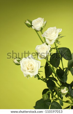Beautiful white roses on green background close-up