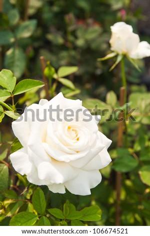 Beautiful white roses on tree