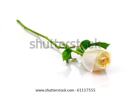 Beautiful white roses reflection on white background