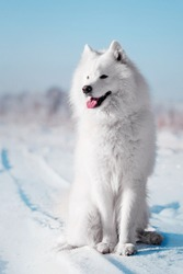 Beautiful white Samoyed dog breed sitting in the snow and looking away