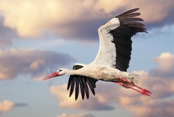 Beautiful white stork (Ciconia ciconia) in flight with a cloudy sky background. Portrait of a flying bird with vibrant colours.