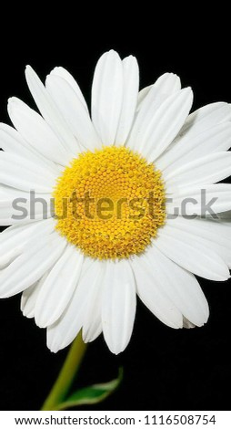 Beautiful White Sunflower In Black Background