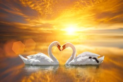 beautiful White swan in heart shape on lake sunset .Love bird concept.couple in love.