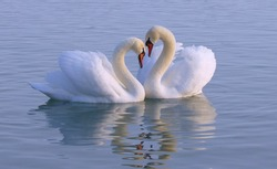 Beautiful white swan in the courtship season