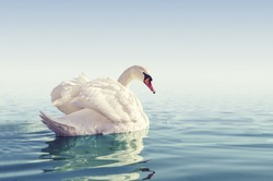 Beautiful white swan in the foggy lake in the morning. Romantic theme with cygnus in the water.