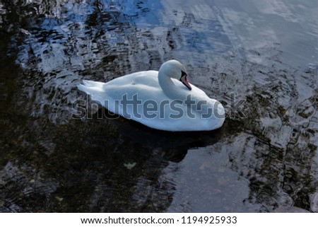 Beautiful white Swan in the pond . City park. Moscow.  Russia.