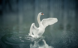 Beautiful white swan is going to fly up  from lake.