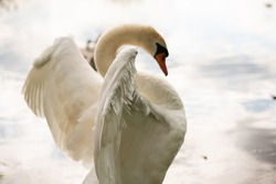 Beautiful white swan on the lake. Watching the frame.