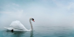 Beautiful white swan swimming in water. Fine art nature with wild bird and river mist. Animal wildlife wallpaper background.