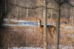 Beautiful white-tailed deer female closeup in Quebec, Canada