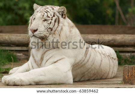 Beautiful white tiger closeup