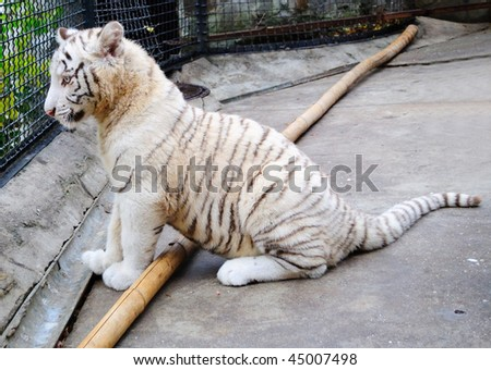 Beautiful white tiger. Gift to the Ukrainian Prime minister Yulia Timoshenko. His name Tigeryulia. The tiger lives in a zoo, Yalta, Crimea.