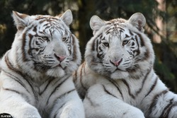 Beautiful White Tigers In Forest, White Tigers Couples