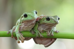 Beautiful white tree frog on branch, dumpy frog perch on green leaves, beautiful tree frog