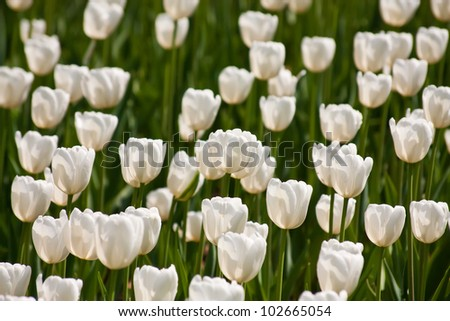 Beautiful white tulips blossoms in spring on green leaves background
