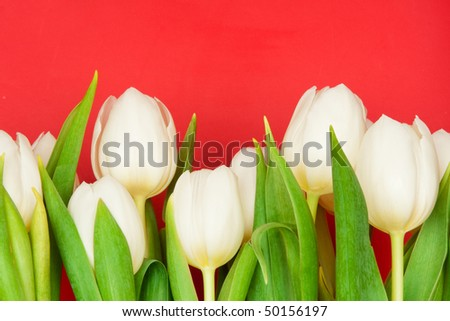 beautiful white tulips on red