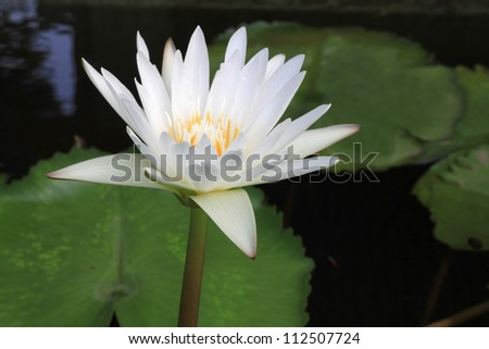Beautiful white water lily in pond
