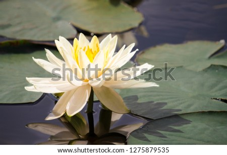 Blue Lotus Flowers On Black Background Images And Stock Photos