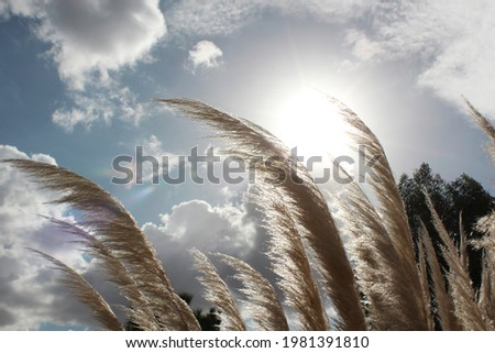 Beautiful white wild sugarcane  Kans grass with blue sky And a bright sun in the back. Stockfoto ©