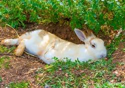 beautiful white - yellow rabbit sitting alone under the shade
