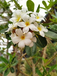 Beautiful whiteflowers in the hot seson