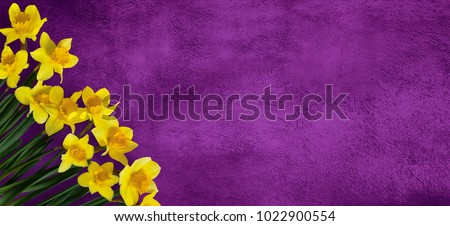 Beautiful Wide Screen grunge purple background with Yellow narcissus flowers.  Greeting Web banner for Mothers Day, Birthday, Women's day With Copy Space for design. Top view, Flat lay.
