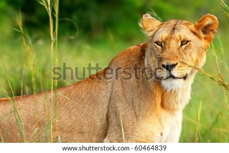 Beautiful wild African lioness. Africa. Kenya. Masai Mara - stock photo