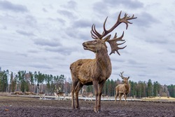 beautiful wild animal deer poses for the photographer