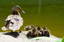 Beautiful wild aquatic duck mother with her little cute cubs ducklings stand against the background of the lake, photographed close up
