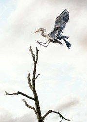 Beautiful wild blue heron big winged bird gliding in landing gracefully on top of tree with sunset sky behind. Massive stork wings long neck legs and prehistoric look of pterodactyl.
