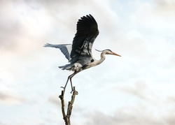 Beautiful wild blue heron big winged bird taking flight off balancing gracefully on top of tree with sunset sky behind. Massive stork wings long neck legs and prehistoric look of pterodactyl.