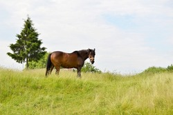 Beautiful wild brown horse stallion on summer flower meadow, equine eating green grass. Horse stallion with long mane portrait in standing position. Equine stallion outdoors, big horse equines.