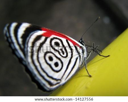 Beautiful wild butterfly near Iguazu Falls, Brazil - stock photo