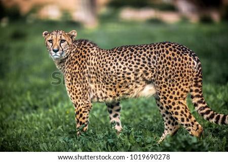 Beautiful Wild Cheetah walking careful on green fields, Close up