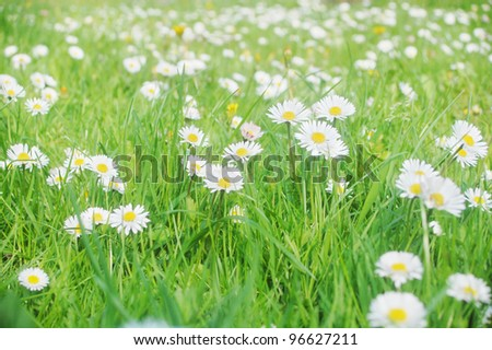 Beautiful wild daisies growing on a grass field.
