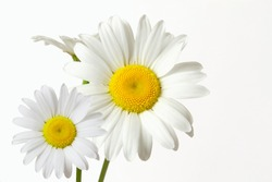 beautiful wild daisy white flower blooming