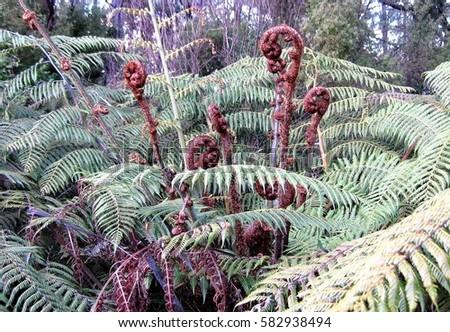 Beautiful Wild Ferns of NZ #582938494